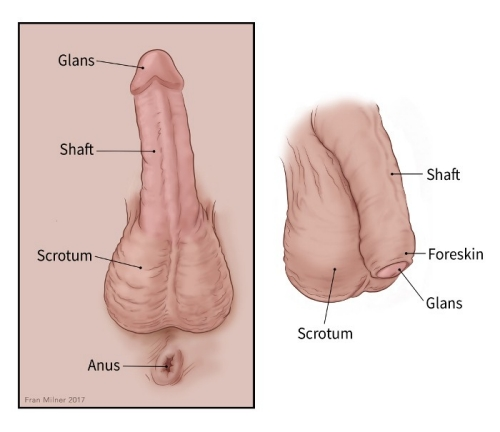 two illustrations of the penis showing the glans, foreskin, shaft, scrotum, anus